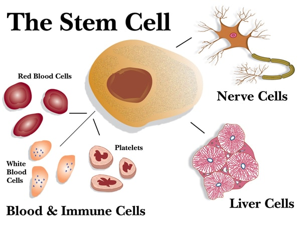 Stem Cell Therapy Enhances this Natural Function by Getting Stem ...